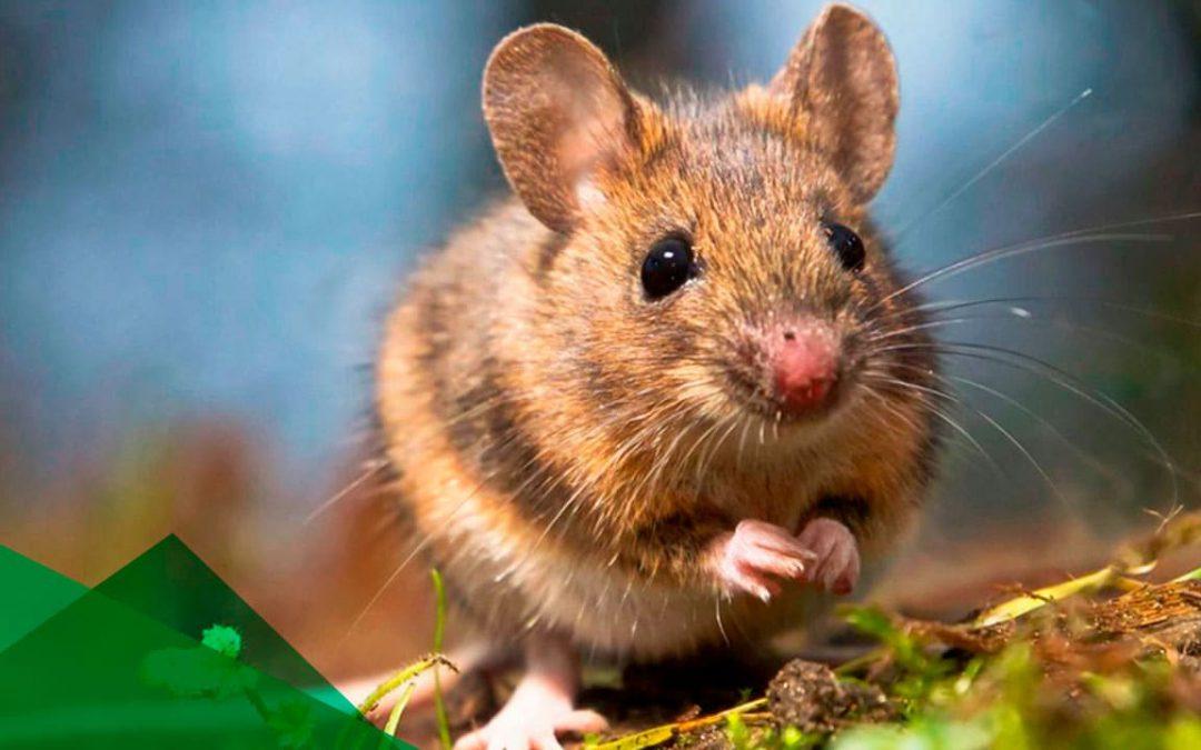 Las ratas y sus enfermedades